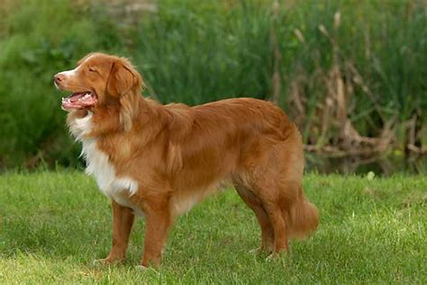 nova scotia duck tolling retriever dog breed information nova scotia duck tolling retriever info puppies mix