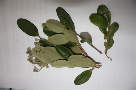 tumbuhan obat  sains analisa tumbuhan obat  unp