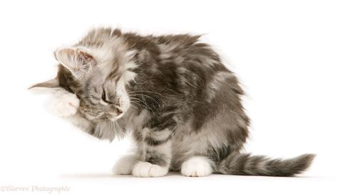 Maine Coon kitten hanging head in shame photo WP43088