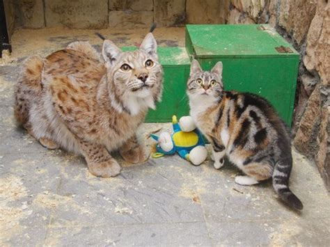 lynx house cat lynx and kitty cat become fast friends at russian zoo