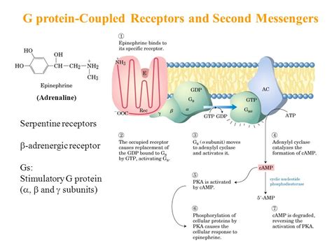 g proteins and second messengers part ii structure and catalysis ppt