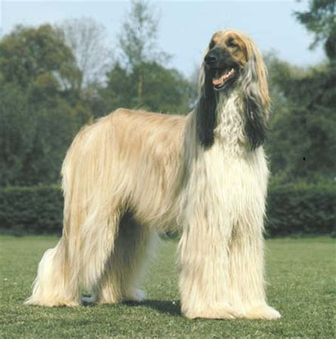 afghan breeds all breeds photograph wallpapers album afghan hou