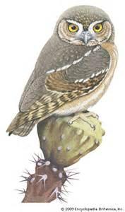 Size Of A Barn Owl Elf Owl Kids Encyclopedia Children S Homework Help