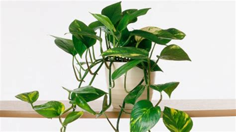 common house plants 10 indestructible houseplants sunset magazine sunset magazine