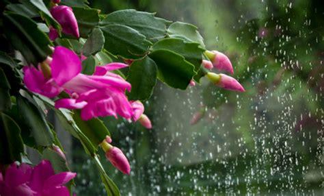 fiori di natale immagini piante natalizie news grechi giardini