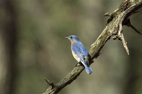 do or don t feeding live mealworms to attract bluebirds