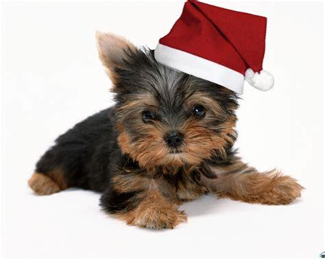 images of christmas yorkies yorkshire merry christmas doggy christmas