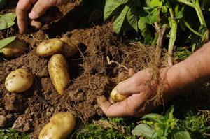 wann b rlauch ernten kartoffelernte wann sind kartoffeln reif zum ernten
