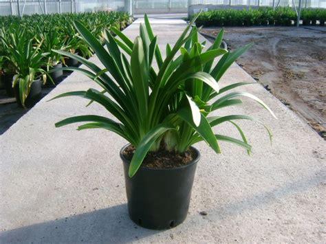 piante da vaso esterne agapanthus diam 24 vivaio piante da esterno florpagano