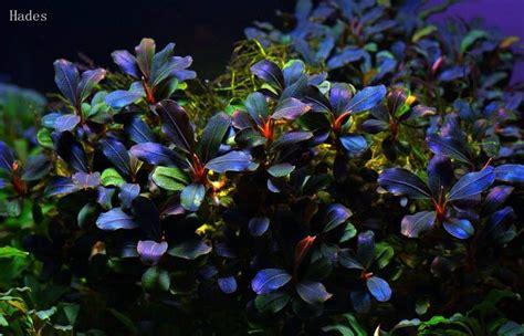 bucephalandra sp hades purple blue aquatic plants