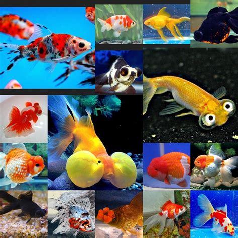 Jenis Pakan Ikan Koki 19 jenis jenis ikan koki penjelasan lengkap dan gambarnya
