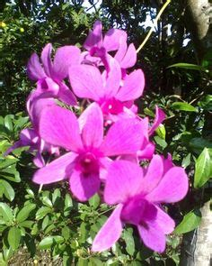 Jual Bibit Oleander tanaman pohon sapu tangan tanaman obat