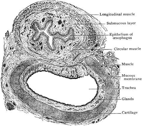 cross section of trachea transverse section of trachea and esophagus clipart etc
