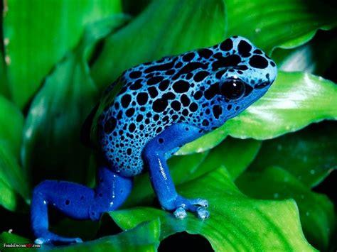 imagenes fondo de pantalla ranas fonditos rana azul animales sapos mascotas ranas