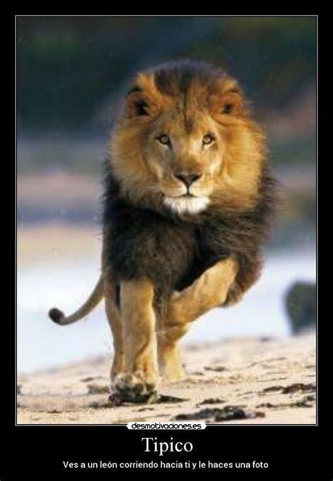 imagenes leones peleando im 225 genes y carteles de leones pag 33 desmotivaciones