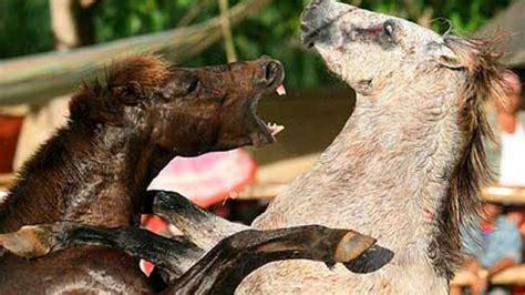peleas de leones a muerte peleas salvajes 1998 movie