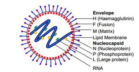 measles virus: structure, pathogenesis, clinical feature