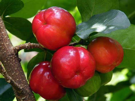 Bibit Cherry Suriname acerola benefits of acerola health news