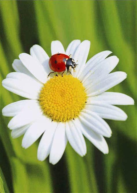 foto margherita fiore dialogo di una coccinella e un fiore su dentro me