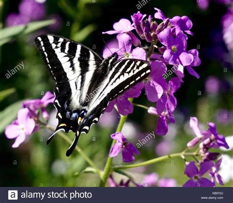 White Butterfly Photos