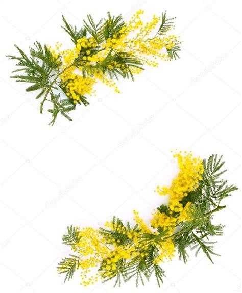 immagini fiori mimosa bordo dei fiori di mimosa foto stock 169 vitaina 97963350