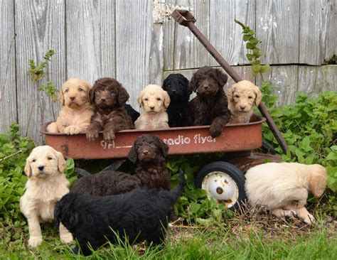 doodle puppies new york labradoodle puppies for sale new york ny 269681