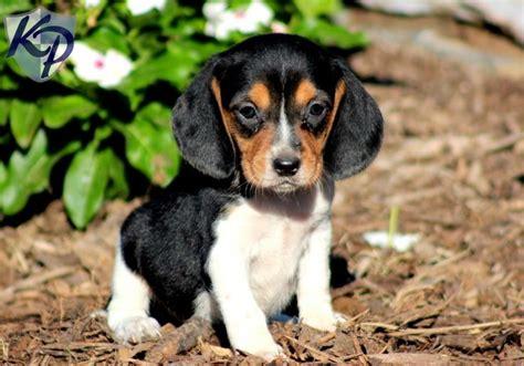 beagle corgi mix puppies for sale 10 best cockalier puppies images on puppies for sale cavalier king