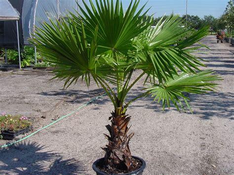 mexican fan palm care un palmier sur un balcon 1 forum cheval