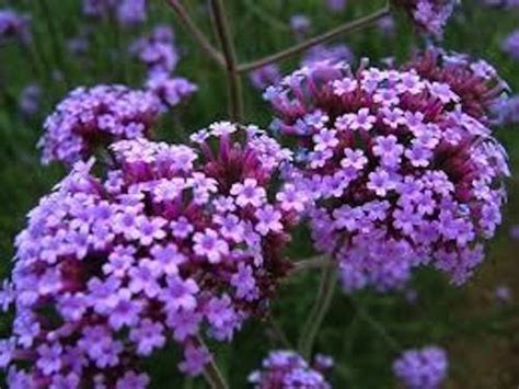 is lavender a perennial 50 verbena seeds lavender perennial ebay
