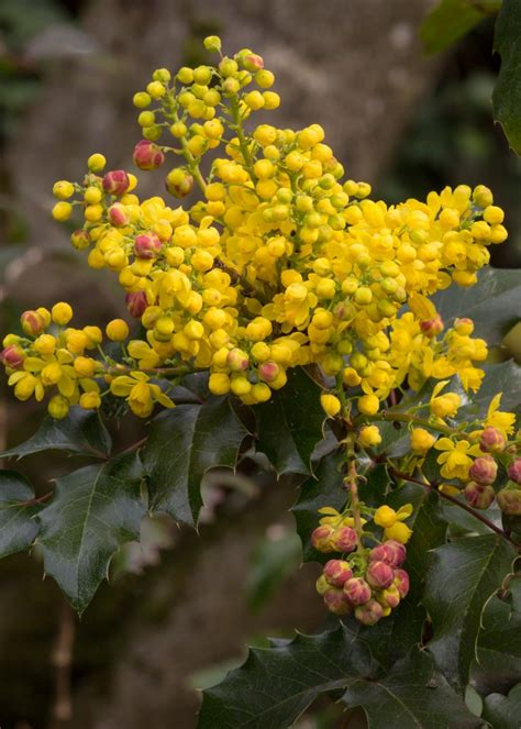 flowering shrubs oregon best early flowering shrubs for pacific northwest
