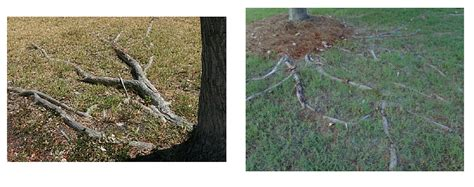 maple tree roots surface dealing with trees with surface roots bower branch