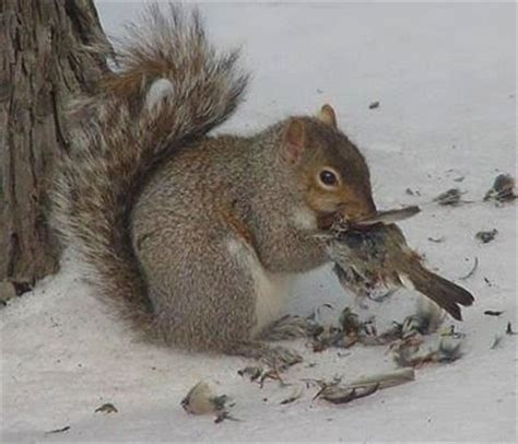 squirrels rats animal behavior food ask metafilter