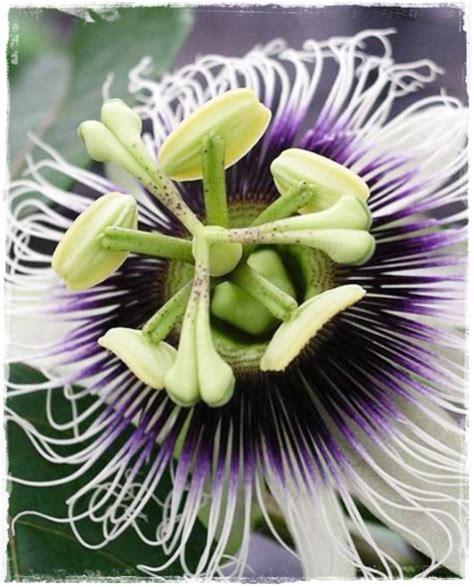 passiflora fiore maracuja passiflora edulis vendita piante