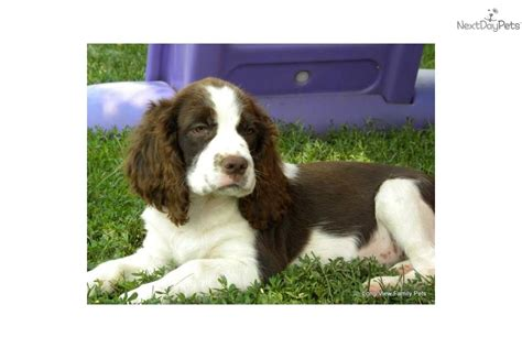 bench springer spaniel puppies bench springer spaniel puppies for sale 28 images