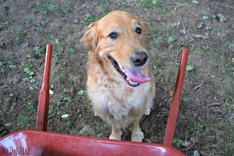 golden retriever smile spot farms food review from family farms to your dogs bowl