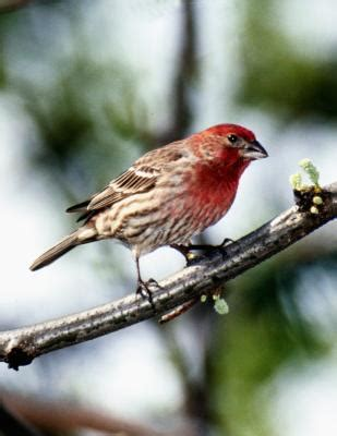 difference between house finch and purple finch difference between a purple finch a house finch