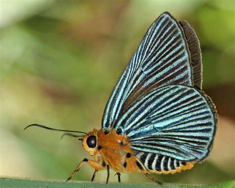 list  butterflies  china hesperiidae wikipedia