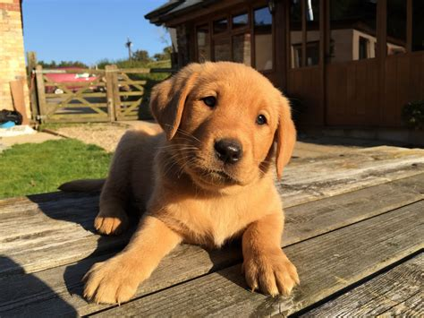 labrador puppies for sale fox pedigree labrador puppies for sale bideford pets4homes