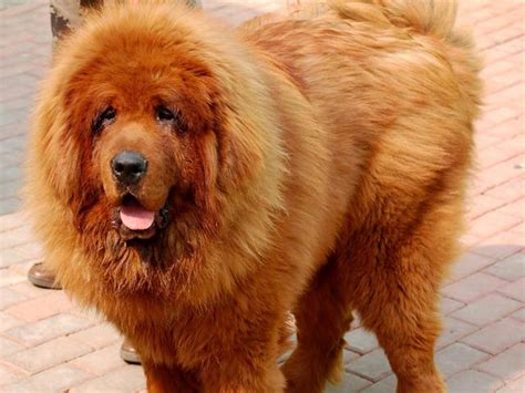 expensive dogs world most expensive tibetan mastiff