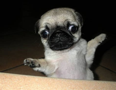 pug derp derp pug images search