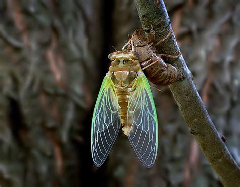 day cicada treknature superb day cicada photo