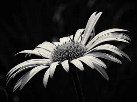 fiori bianco e nero immagini bianco e nero foglia petalo
