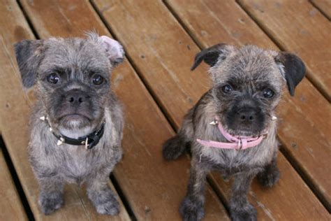 pug mixed with a poodle poodle mixes