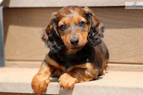 miniature dotson puppies dachshund mini puppy for sale near lancaster pennsylvania ec4bd1ef 69a1