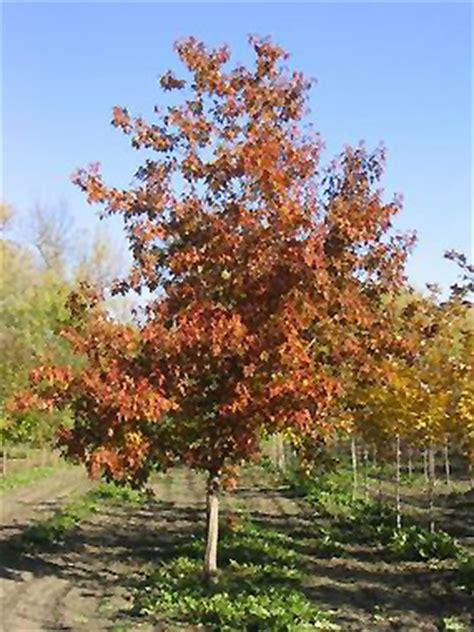 maple tree calgary ventura maple acer ventura in calgary alberta ab at spruce it up garden centre