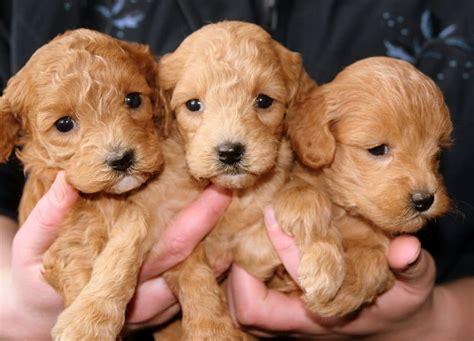 Wann Ist Ein Hund Ausgewachsen Gr 246 223 E Hunderassen
