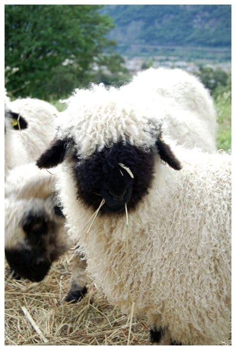 black faced sheep home decor black faced sheep home
