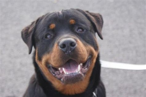 rottweiler rescue ga the 25 best rottweiler puppies for adoption ideas on chicken