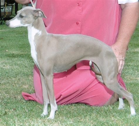 greyhound colors colors and markings and chaulait italian greyhounds