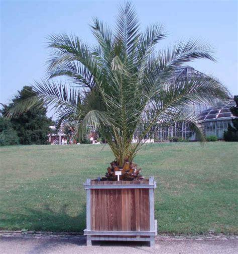 palma da giardino piante da vaso palma da dattero acaulis